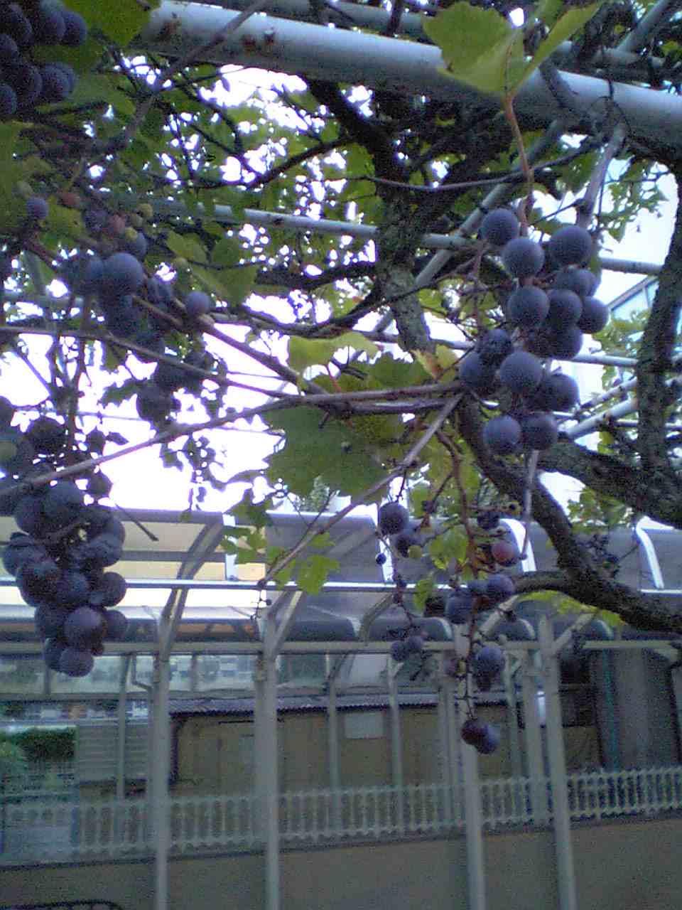 紫色に実る
